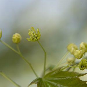 Ahorn Blüte
