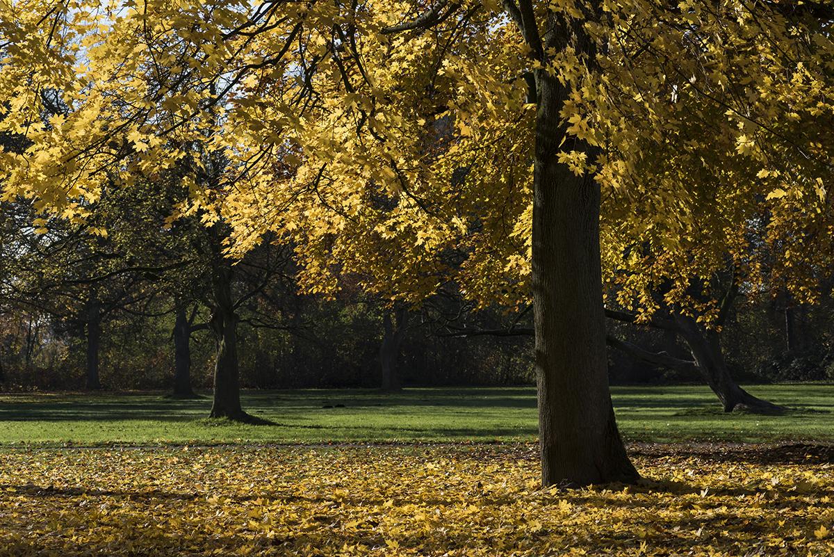 Ahorn Herbst