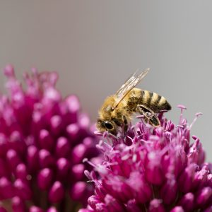 Allium und Biene