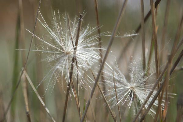Artischocke Samen