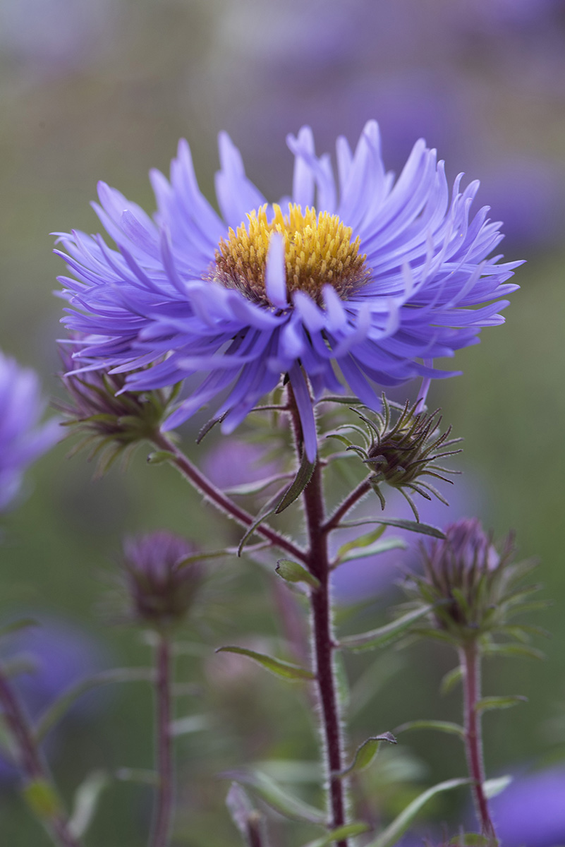Aster lila