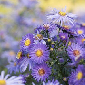 Aster violett