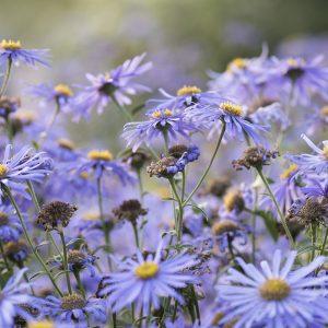 Astern blauviolett