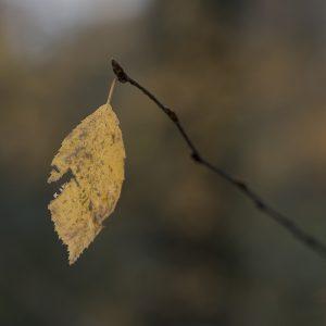 Birkenblatt