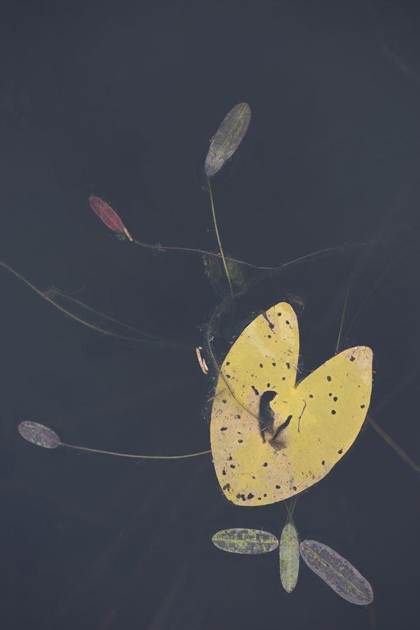 Blatt Wasserpflanze