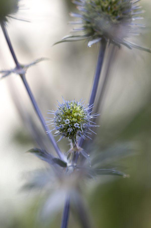 Blauköpfchen