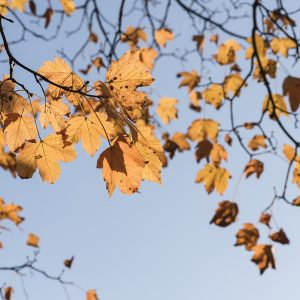 Blätter Ahorn