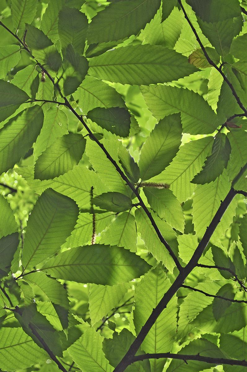 Blätter Esskastanie