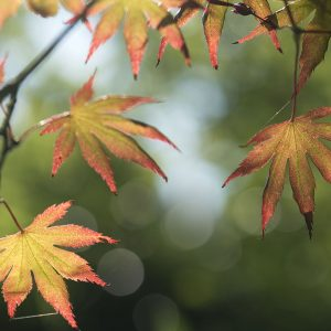 Blätter japanischer Ahorn