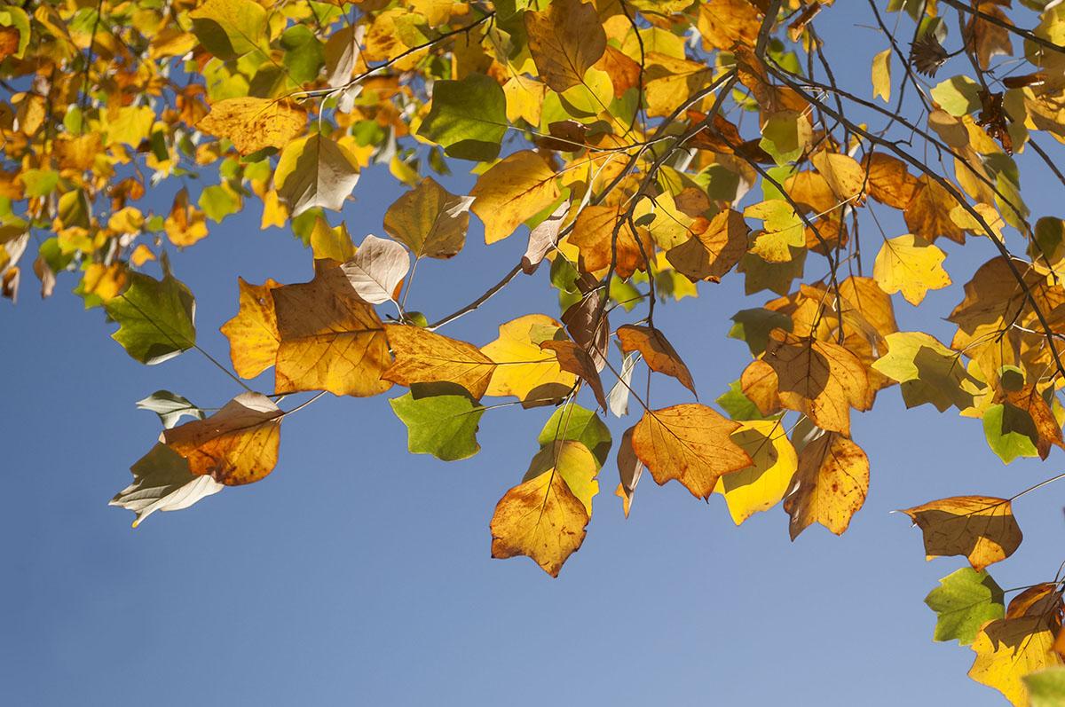 Blätter Tulpenbaum