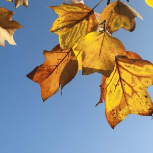 Blätter Tulpenbaum Herbst