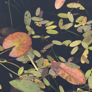 Blätter Wasserpflanzen