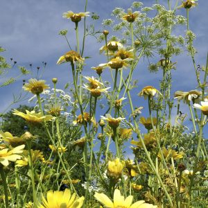 Blumenwiese gelb