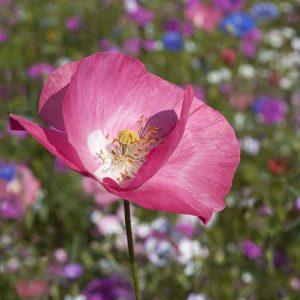 Blumenwiese Mohn