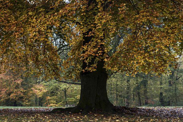 Buche Herbst