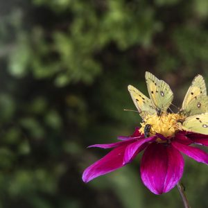 Dahlie mit Schmetterlingen
