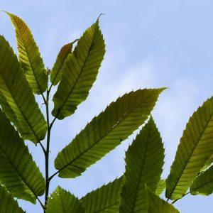 Esskastanie Blätter