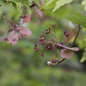 Fächerahorn Blüte und Samen