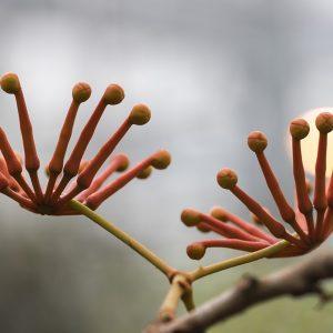 Feuerradbaum