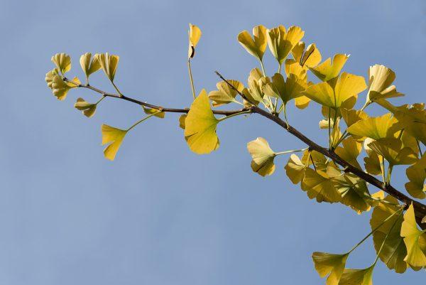 Ginko Herbst