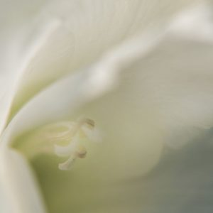 Gladiole weiss