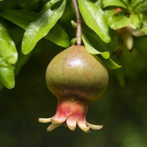 Granatapfel Frucht