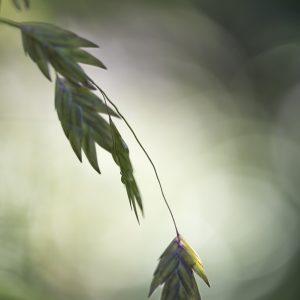 Gras casmanthium latifolium