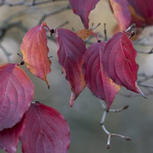 Hartriegel Blätter