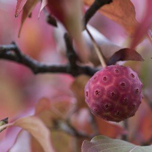Hartriegel Frucht