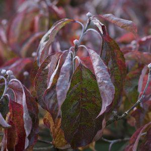 Hartriegel Herbst