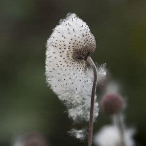 Herbstannemone Samen