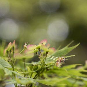 japan. Ahorn Blüte und Samen