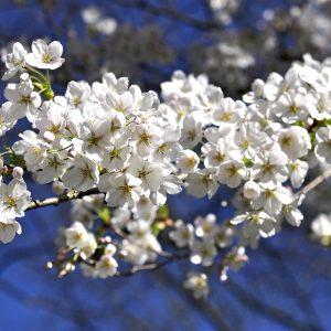Kirschzweig Blüte