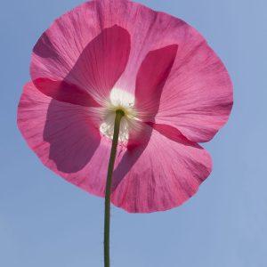 Klatschmohn rosa