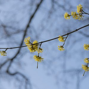 Kornellkirsche Blüte