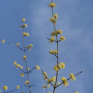 Kornellkirsche Blüten