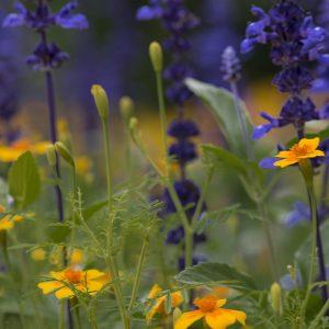 Lavendel und Tagetes