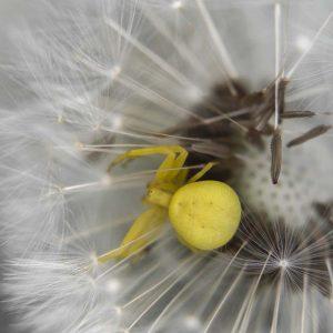 Löwenzahn Pusteblume mit Spinne