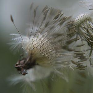 Löwenzahn Pusteblume