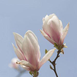 Magnolien rosa