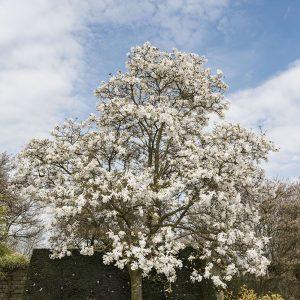 Magnolienbaum weiß