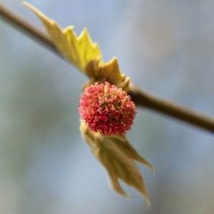 Platane weibliche Blüte