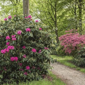 Rhododendron magenta