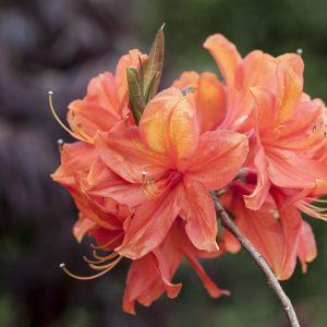 Rhododendron orange