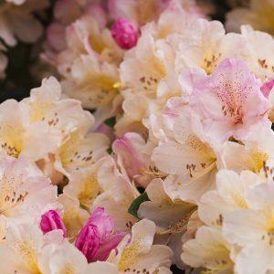 Rhododendronblüte hellgelb