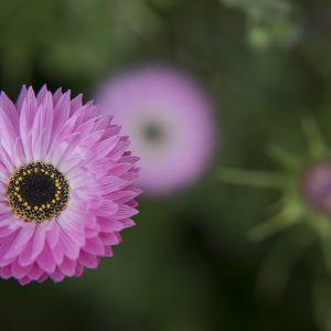rosa Sonnenflügel