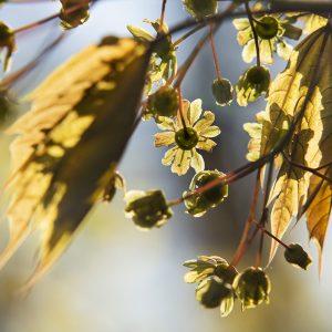 Rotahorn Blüte