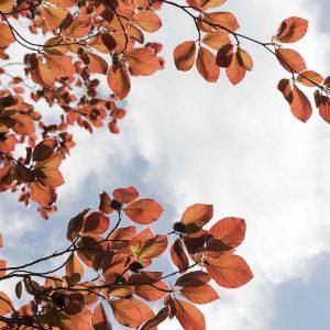 Rotbuche Blätter Frühling