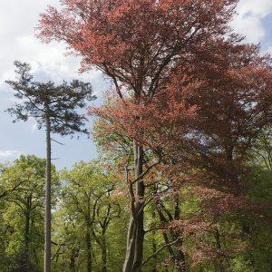 Rotbuche Frühling