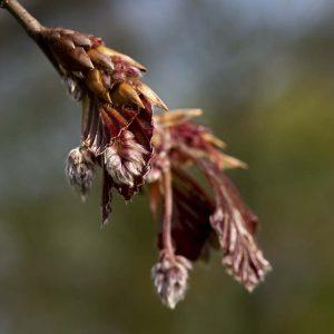 Rotbuche Samen
